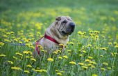 Kleine en middelgrote Nonshedding honden die kalm zijn