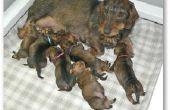 Hoe maak je een vak voor een zwangere hond