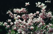 De temperatuur van de bevriezing voor ingegoten Magnolia