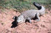 Hoe herken ik een man van een vrouwelijke krokodil
