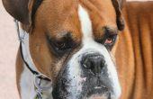 De bijwerkingen van CCNU pillen bij honden
