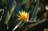 Hoe Trim dode bladeren op een vogel van het paradijs