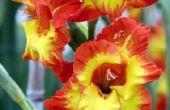 Wanneer gladiolen bloemen bloeien?