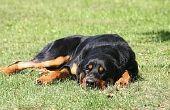 Hoe behandel je hond heupdysplasie met vitamine C