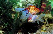 Wat voor soort planten zet u in een Betta vis kom?