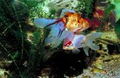 Hoe maak je een vis Tank ei Incubator