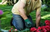 Wanneer kan ik een dwerg Rhododendron snoeien