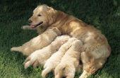 Hoe lang duurt het voordat u melk zien moeten als vrouwtjes Puppies hebben?