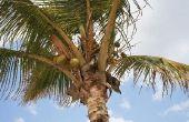 Groeitempo op jaarbasis van een kokosnoot Palm