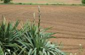 Hoe te snoeien een Yucca Plant uit de dode bloeiende stengel