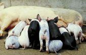 Hoe melk een varken