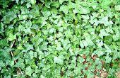 How to Grow Ivy uit stekken