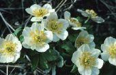Zijn Japanse anemonen giftig?