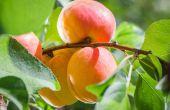 Abrikoos bomen voor warme locaties