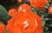 De beste zelfgemaakte Spray voor zwarte vlekken op rozen