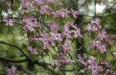 Native bloeiende bomen in North Carolina