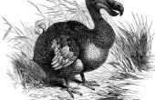 Informatie over het Dodo Bird