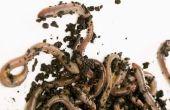 Wat Blackworms & regenwormen hebben met elkaar gemeen?