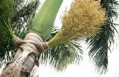 How to Grow Royal Palm Tree Seeds