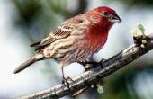 Welke grootte Birdhouse Opening voor een Finch?