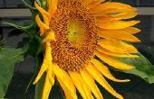 Gebruik van de zonnebloem Plant
