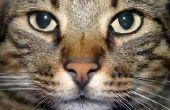 Hoe weet u of uw kat Is Too Fat en behoeften om te gaan op A Weightloss dieet