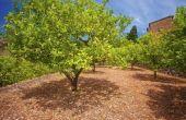 Bodem voor citroenbomen
