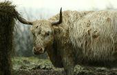 Soorten koeien met lang wit haar