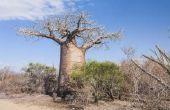 Planten van de tropische savanne