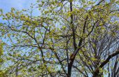 Hoe Persimmon bomen snoeien