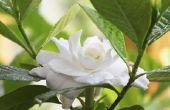 How to Get Rid van insecten op Gardenias