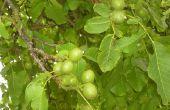How to Plant Black Walnut bomen uit zaden