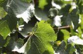 Klimmen Ivy met zaad peulen
