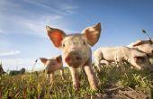 Hoe oud moet een varken voor de slacht?