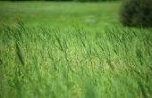 Wanneer te planten Roodzwenkgras?