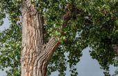Hoe de zorg voor een boom Cottonwood