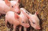 Hoe te het castreren van varkens
