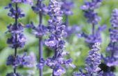 How to Keep spinnen weg met lavendel