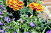 Temperatuur voor het planten van bloemen