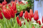 Hoe te planten tulpen buiten na ze in potten bloeien