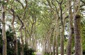 Hoe te snoeien van een boom Sycamore