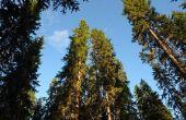 Chemische stoffen die doden van de volwassen pijnbomen