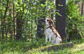 Symptomen van anaplasmose in een Canine