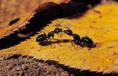 Kleine zwarte mieren in mijn huis