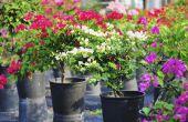 Hoe om te groeien Bougainvillea in potten