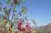 Hoe om te groeien van een Plant uit een Peppercorn