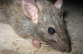 Hoe te vertellen als je een Rat-probleem