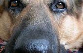 Hoe de behandeling van een hond met hooikoorts