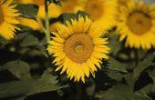 Het behouden van zonnebloemen