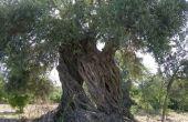 How to Plant olijfbomen